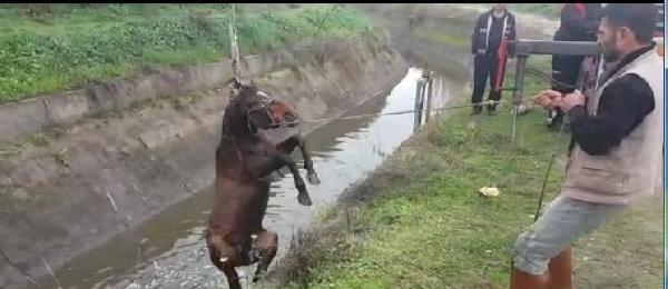 Aydın'da sulama kanalına düşen at kurtarıldı