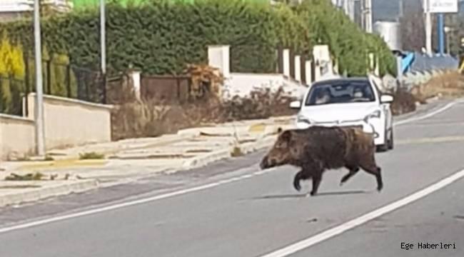 İzmir'de Yaban Domuzu Alarmı