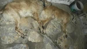 Tavuk Etiyle Zehirlendiği Sanılan 2 Köpek Öldü