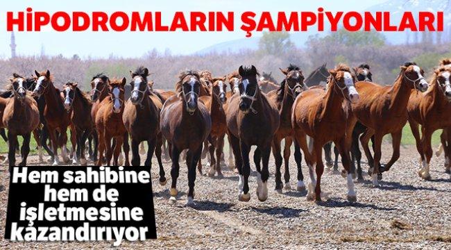 Hipodromların Şampiyonları Sultansuyu'nda yetişiyor