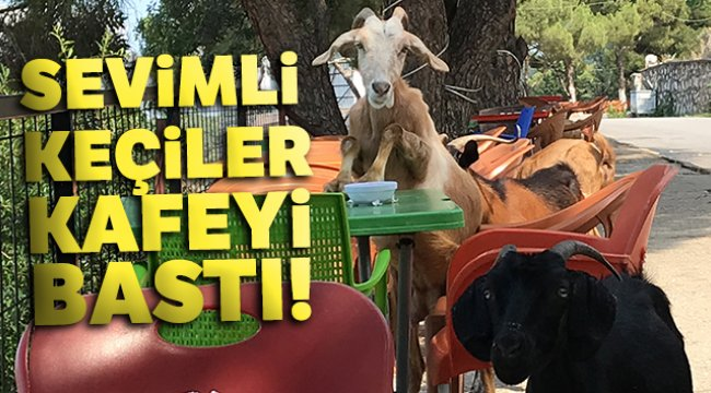 Manisa'nın Şehzadeler ilçesinde sevimli keçiler kafeyi bastı