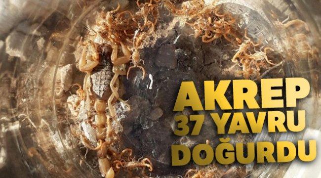 Aydın'da bir akrep 37 yavru doğurdu