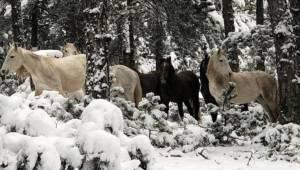 Yem bırakmaya gittikleri ormanda yılkı atlarını görüntülediler